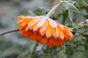 Calendula with frost