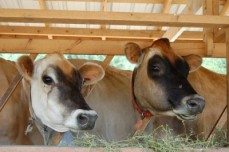 Jersey cows at Moonstruck Cheese, Saltspring Island, BC