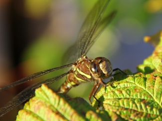 science and nature dragonfly