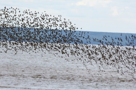 Migrating shorebirds at Mary's Point, NB