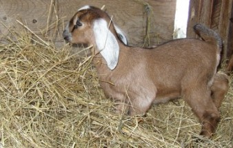 baby goat (Acorn) trimmed