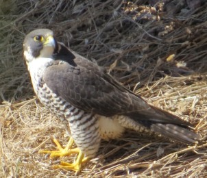 Peregrine falcon on nest