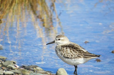 shorebird 035