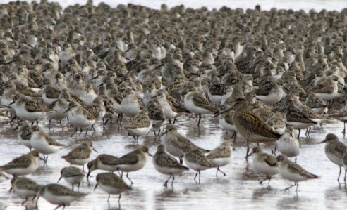 Short-billed dowitcher among sandpipers