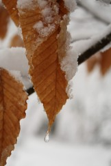 Beech leaves in snow